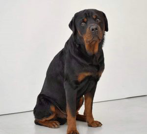 Rottweiler Breed for sale