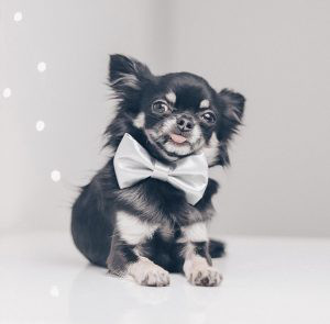 Chihuahua Puppies For Sale Uk Your Guide To The